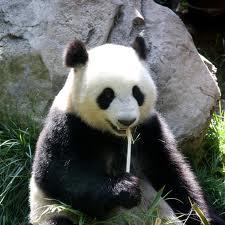 Nadchodzi nowa Panda, tym razem bardziej wytresowana
