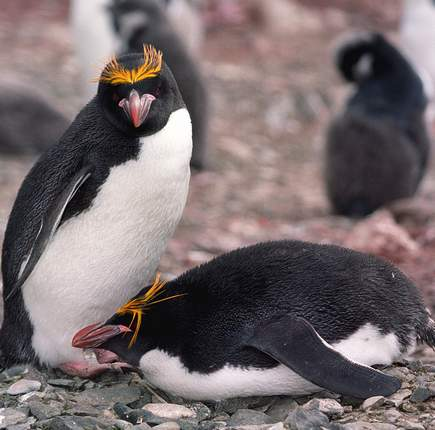 Pingwin w czasie rzeczywistym wydziobie wszystkie śmieci